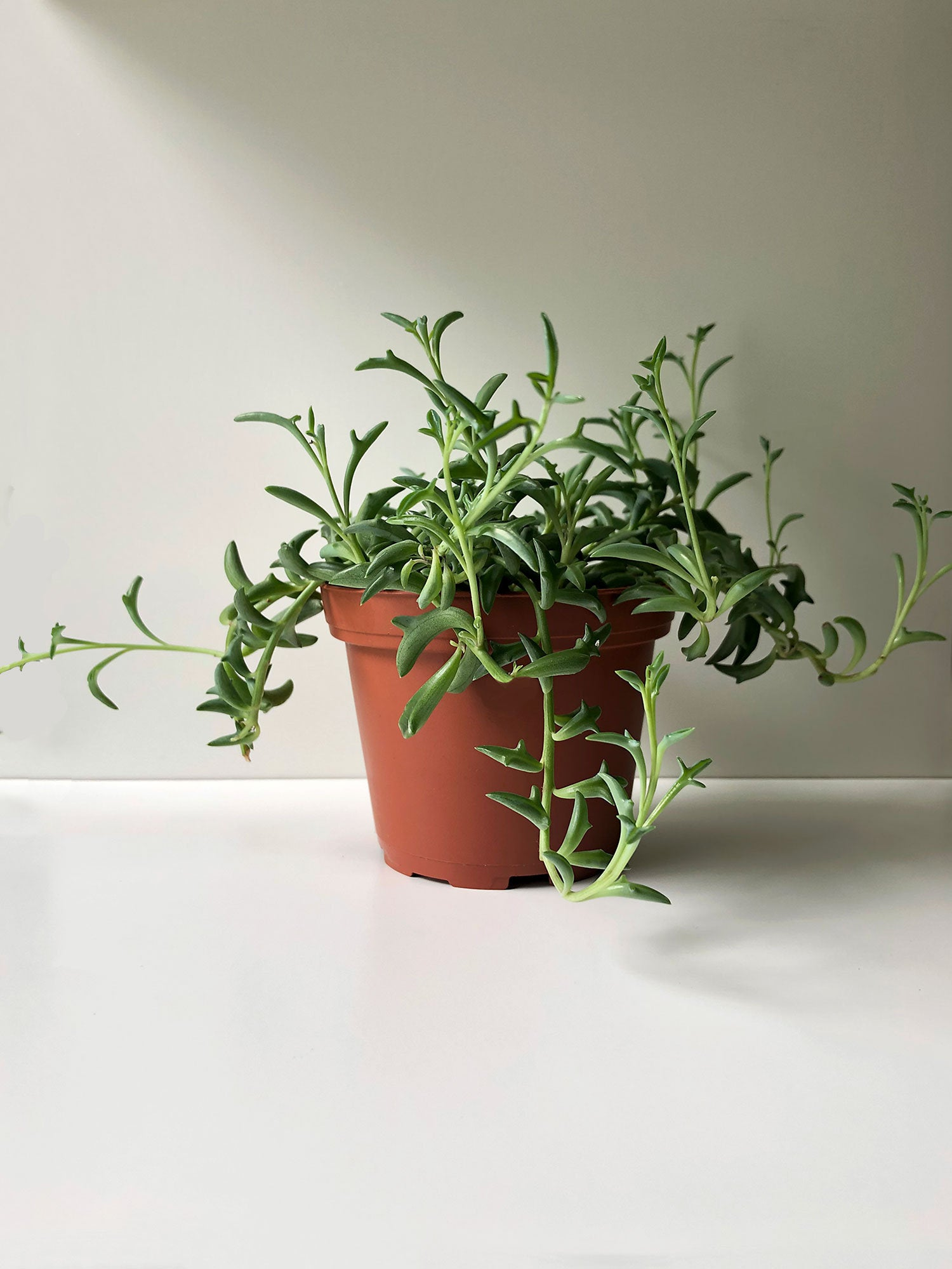 String of Dolphins. Photo Courtesy of World of Succulents