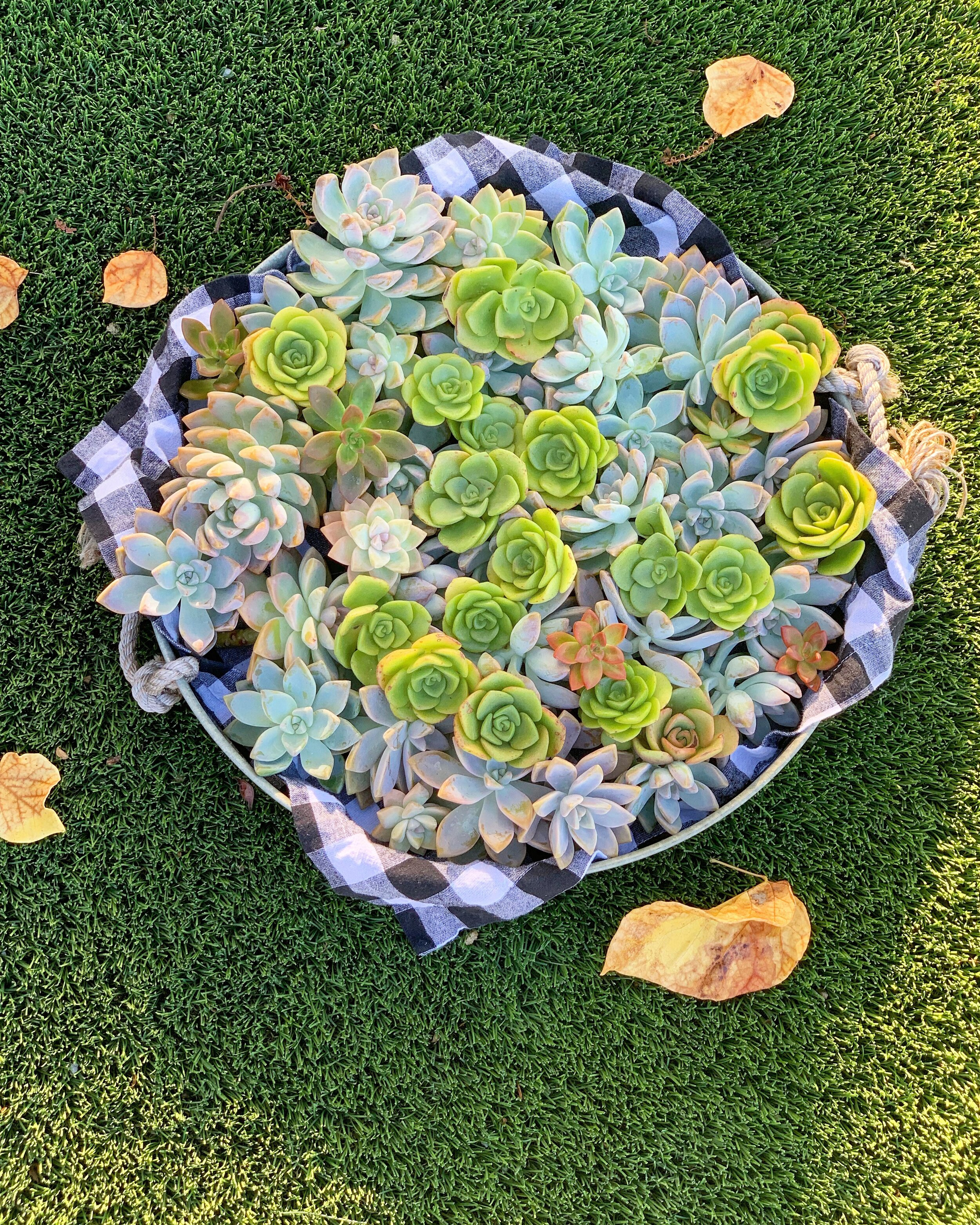 a platter filled with clippings of ghost plants and aeonium lilypad