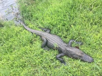 Florida Alligator sunning herself.