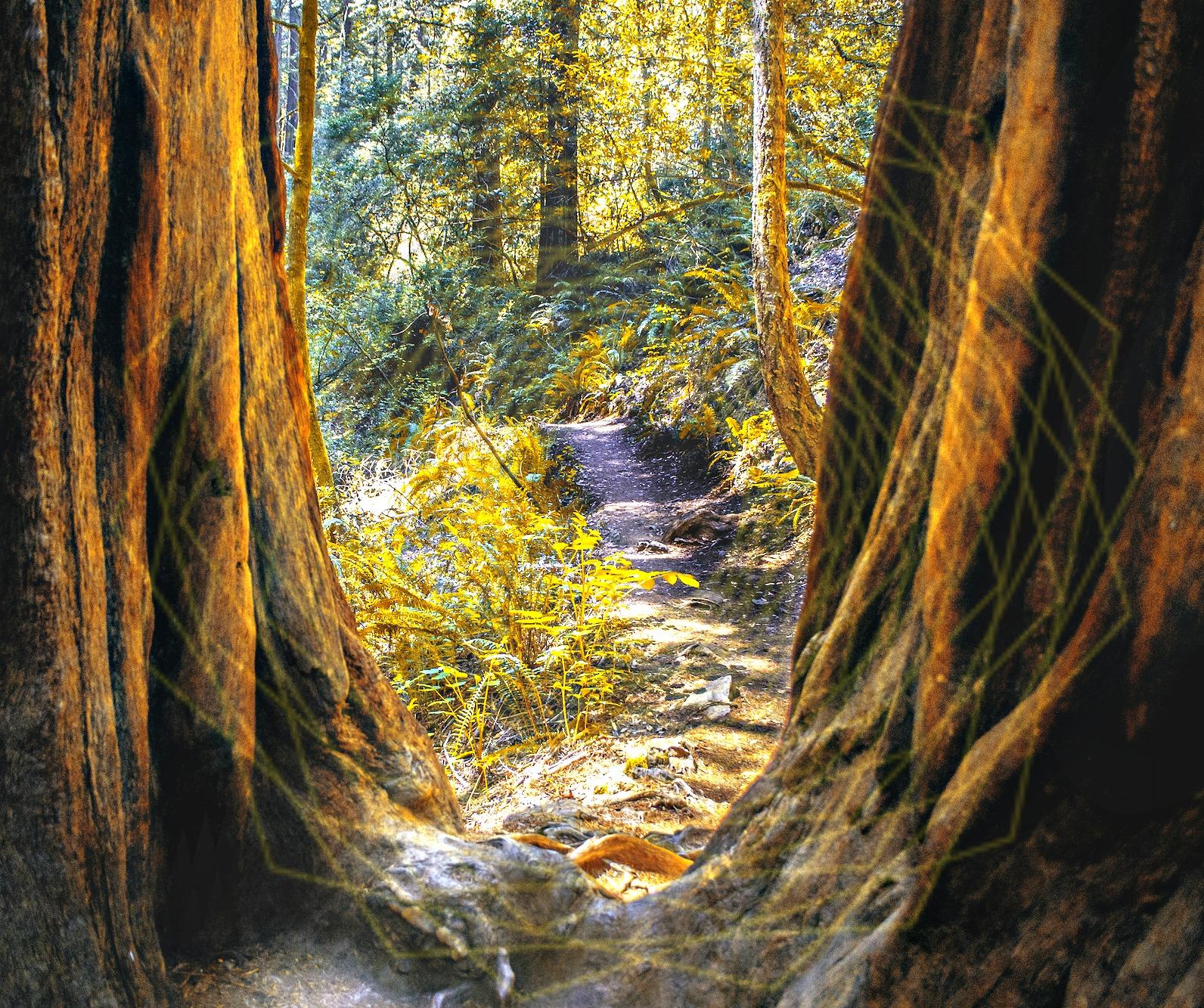 Muir-Woods-Redwoods3.jpg