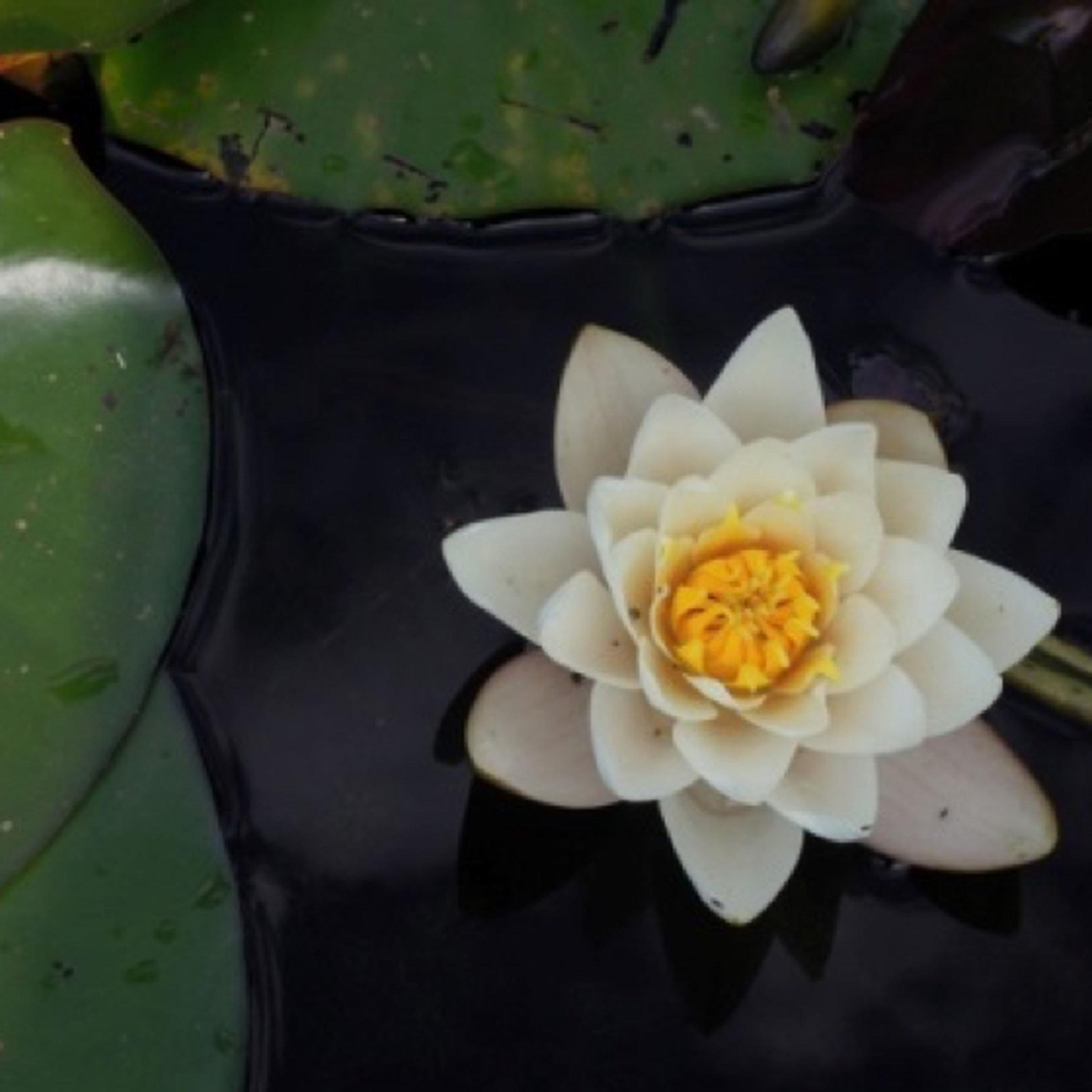 Flower-on-water.jpg