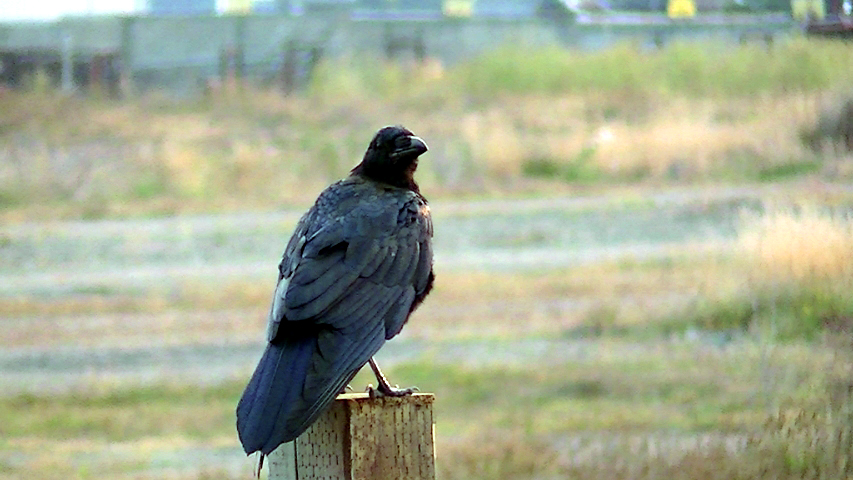 Ravens soar on thermals and nest in cypress trees in Fort Bragg. Photo: Mary Charlebois
