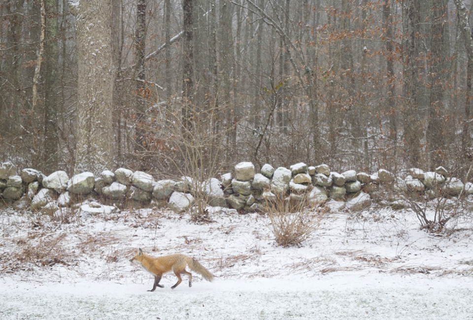 A beautiful fox running through the backyard of our house-sit.