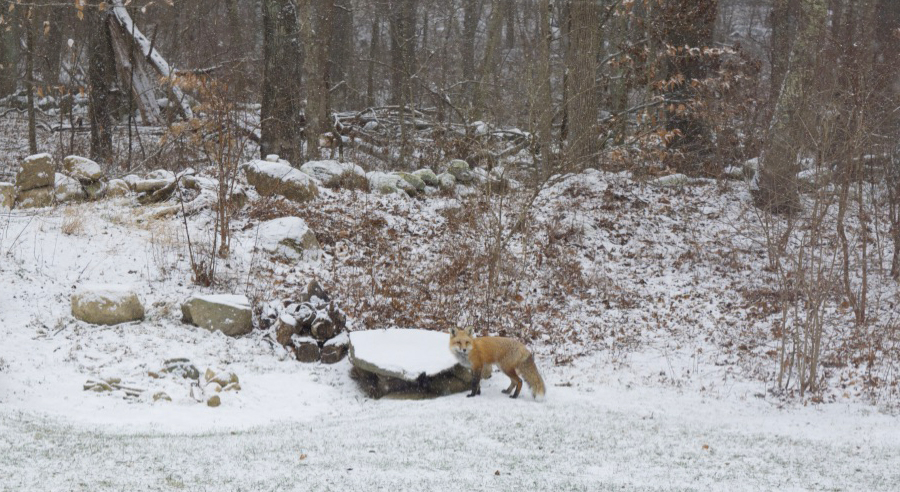 fox in snowy yard.jpg