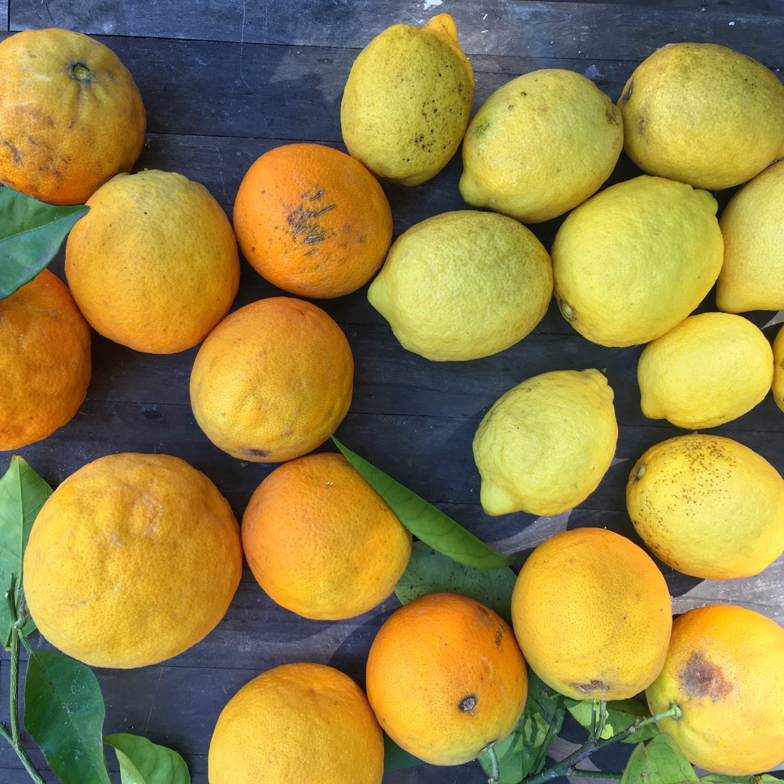 Ugly but delicious oranges and lemons picked straight from the tree in our backyard!