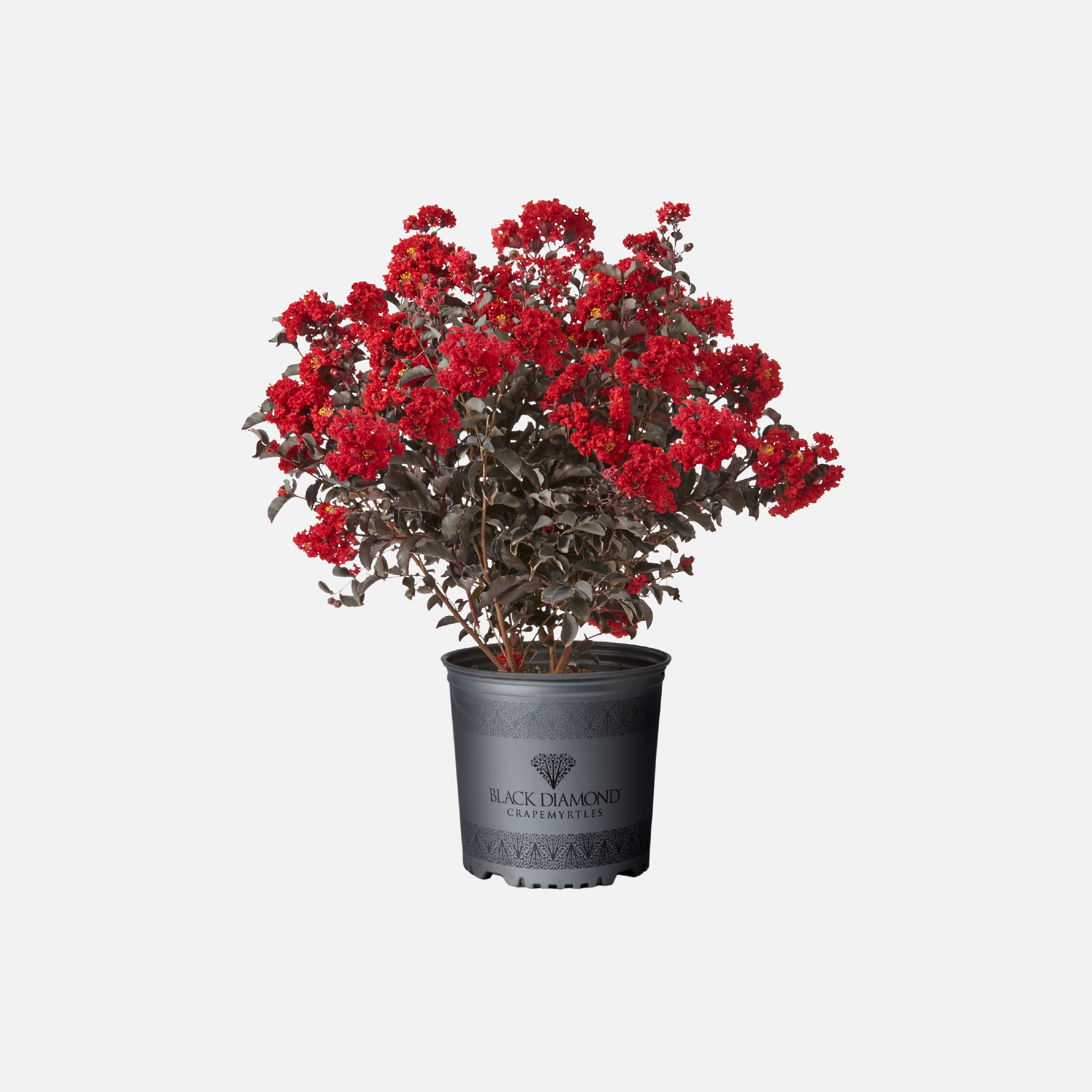 Black Diamond Crapemyrtles container