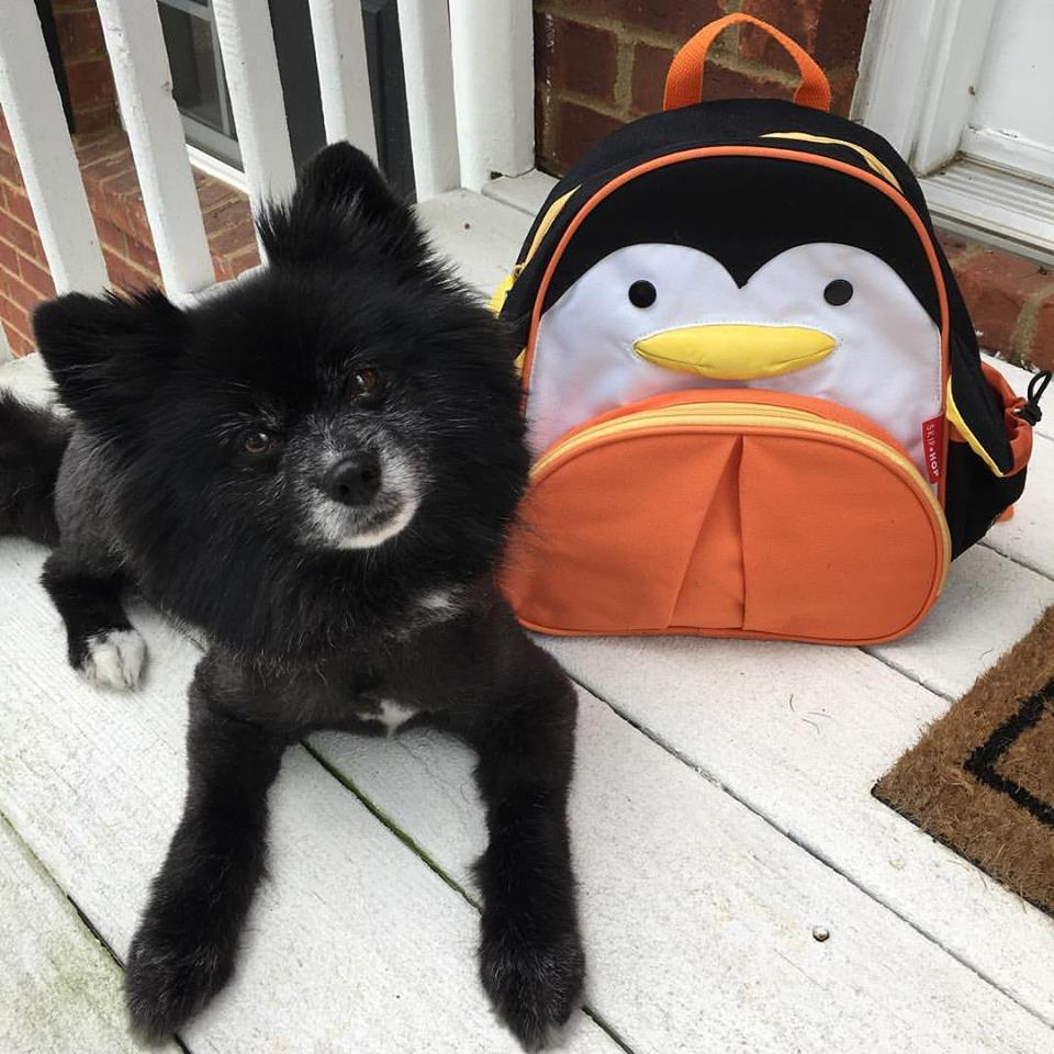 Penguin is a 9 year-old Pomeranian that loves walks, car rides, and ladies. He's terrible at fetch and most dog activities.