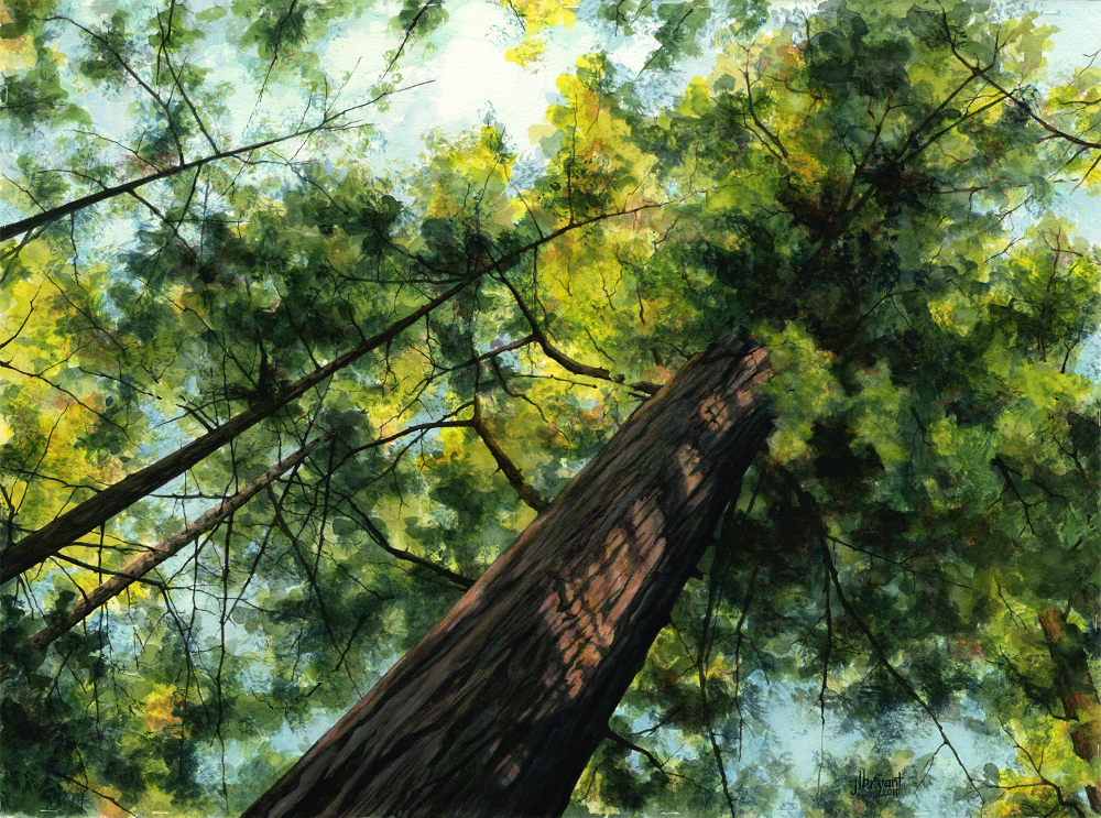 "Portola Redwoods  watercolor : 22 x 30"" : print $275 : original available through  The Art Spirit Gallery ."