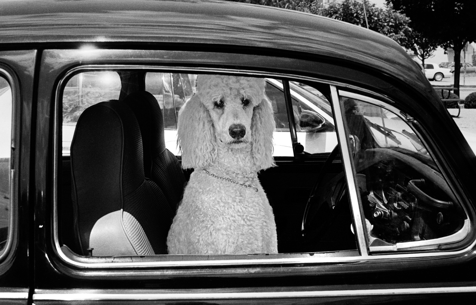 Dignitary Poodle, Bloomington, IN