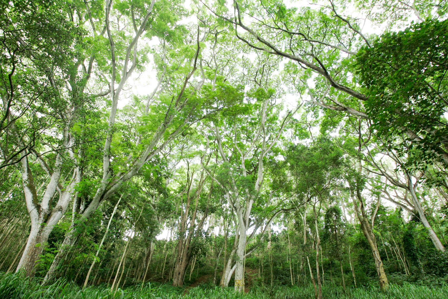 Forest, Kauai
