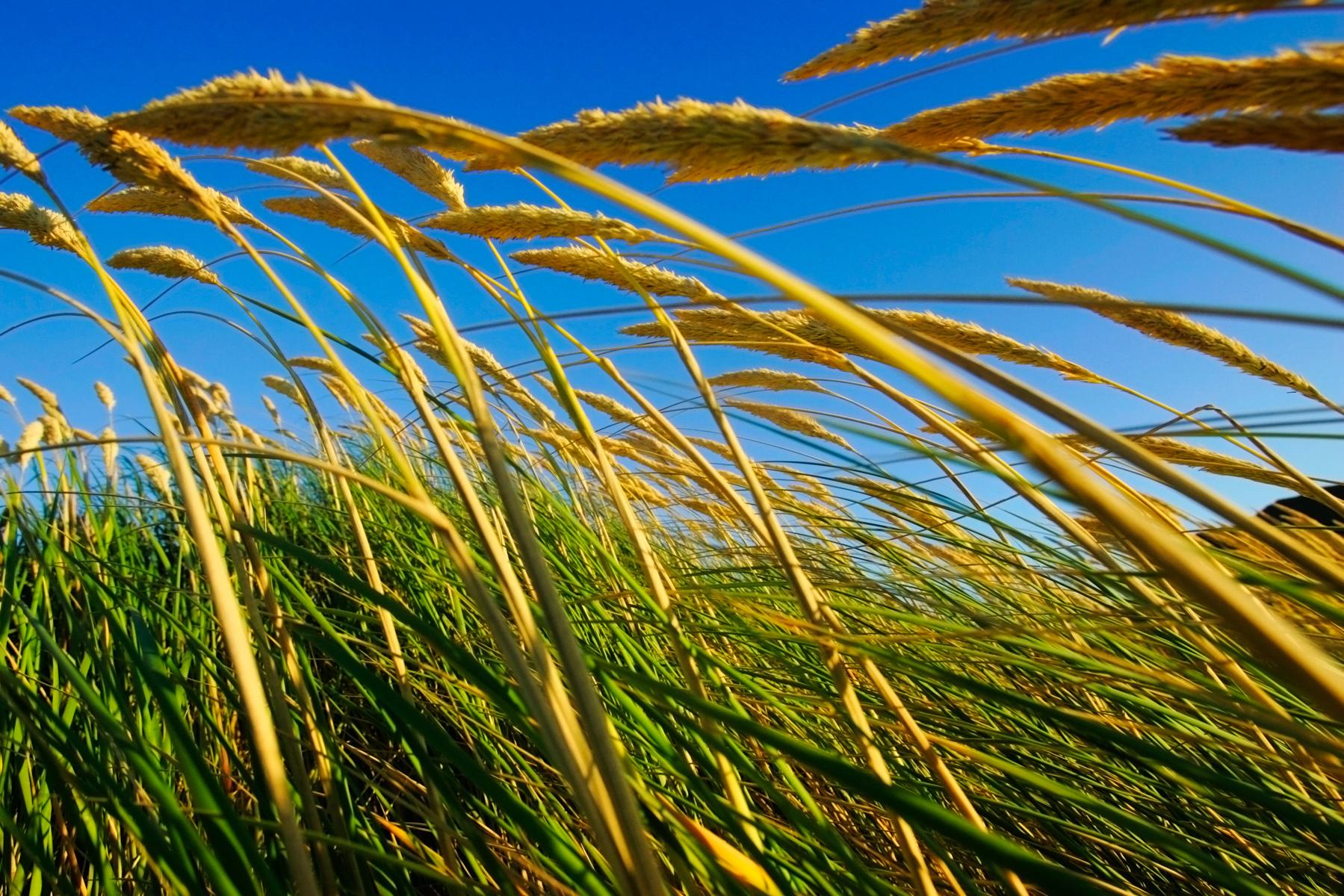 Tall Grass, Oregon Coast