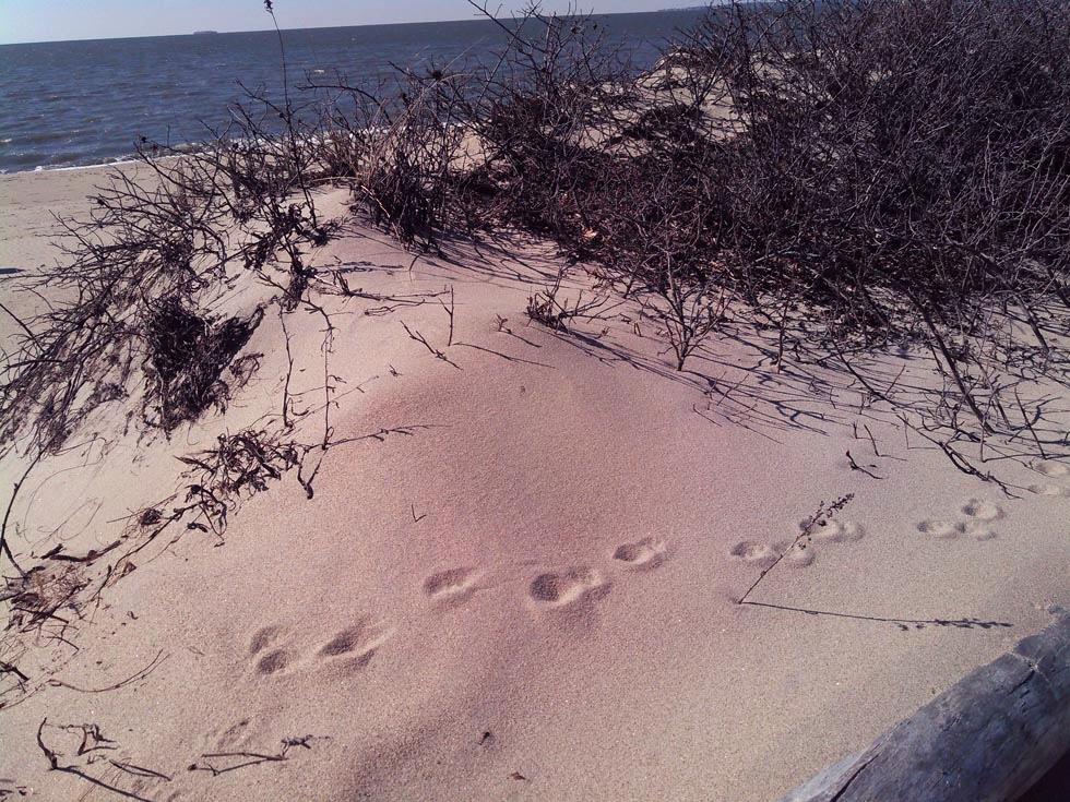 Beach Bumming Furbearers -
