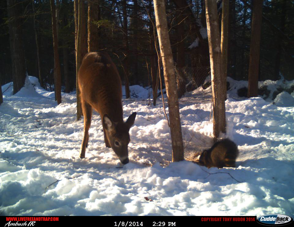 First frame with the raccoon foraging alongside a doe.