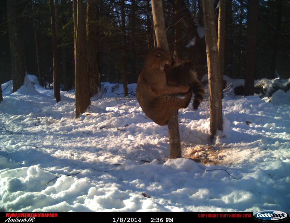 The second frame quickly snaps to the bobcat pinning the coon on a tree.