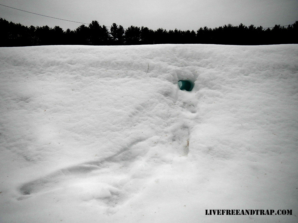 Typical mink tunnel in deep snow.
