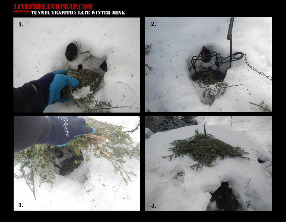 Above: Note the diagram for installing body-grip traps in mink snow tunnels. 1. Locate the tunnel, and dig a section out of the middle of the tunnel; install a rock or hemlock boughs to avoid freeze-in during warmer days. 2. Install the trap and make the needed staking and stabilizing placements. 3. Cover the top of your hole with more boughs to avoid future precipitation from freezing trap. 4. The final view of the set - note the original tunnel entrance at the bottom of the image.