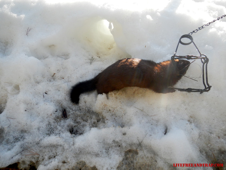 3rd and largest mink removed from the property. Note the tunnel entrance.