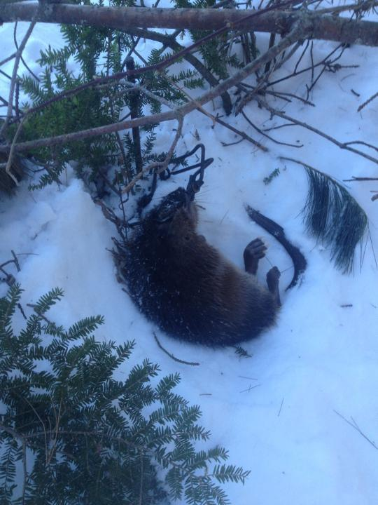 Muskrat caught with a 110 Body-Gripping trap.