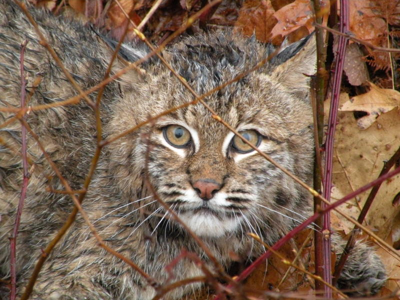Bobcat trapped and released unharmed from a foothold trap.  Photo taken by NH Trapper.