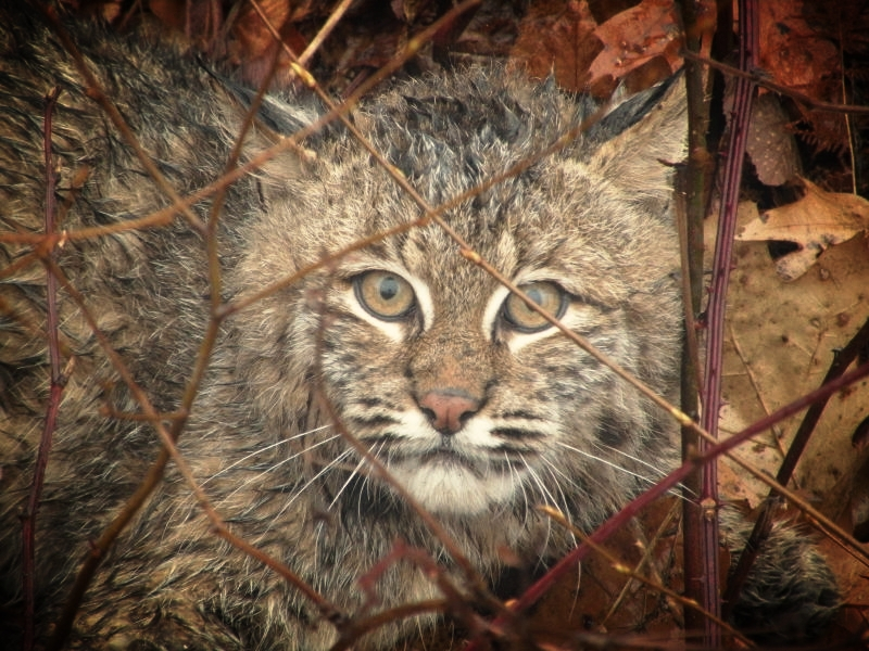 A bobcat caught by a local NH trapper waits to be released back into the wild.
