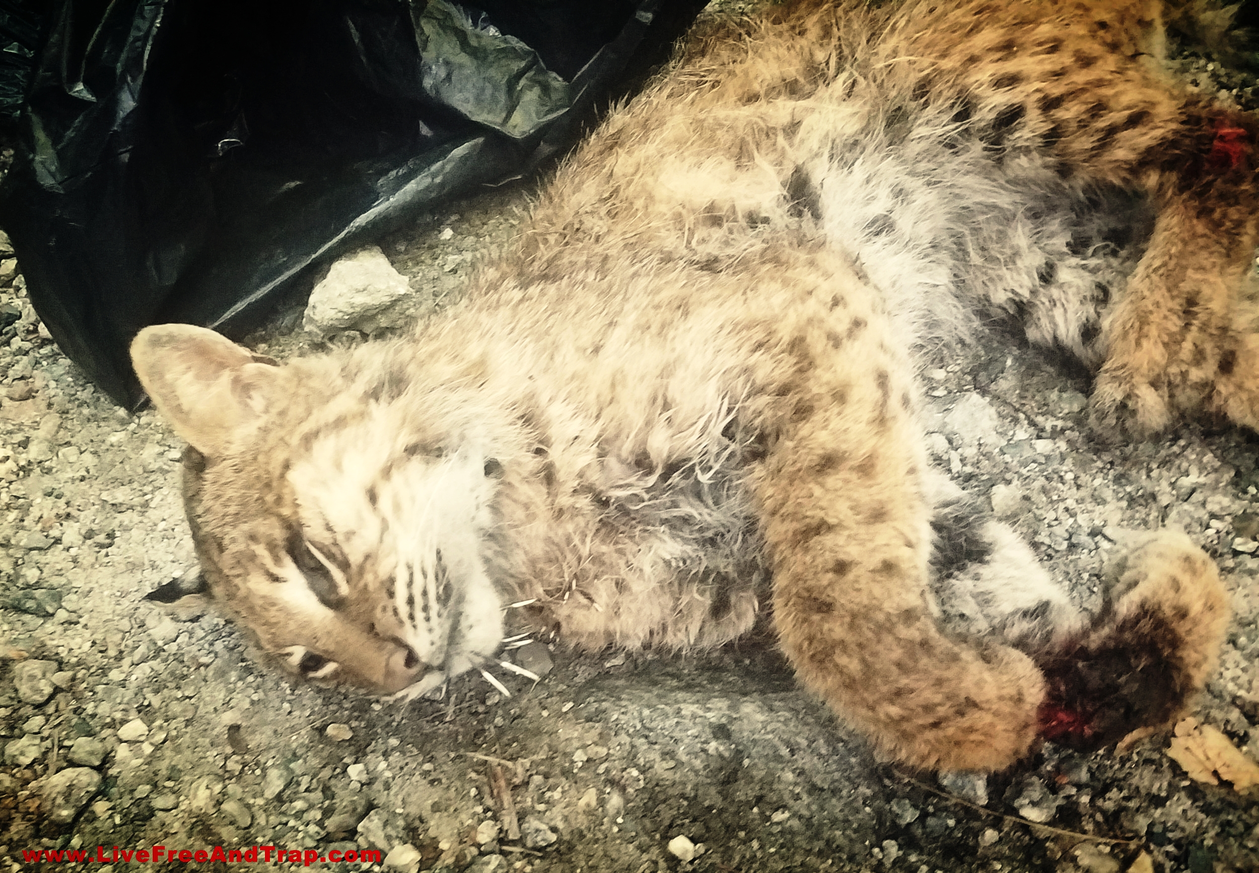 The bobcat that attacked Mrs. Dabrowski prior to being removed by NH Fish & Game. Sadly, this has become the norm for NH's surplus bobcats - dropped into a garbage bag and thrown away. Bobcats like this one are discarded on a weekly basis as the population swells un-monitored. (Photo courtesy Gene Dabrowski)