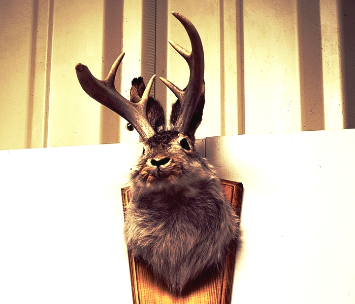 A jackalope mount from William Crowley's collection. Crowley is supporting the NHFG Department's proposal to open a limited jackalope hunting season to help manage and gather future data on the cryptic hybrid species  (public domain image) .
