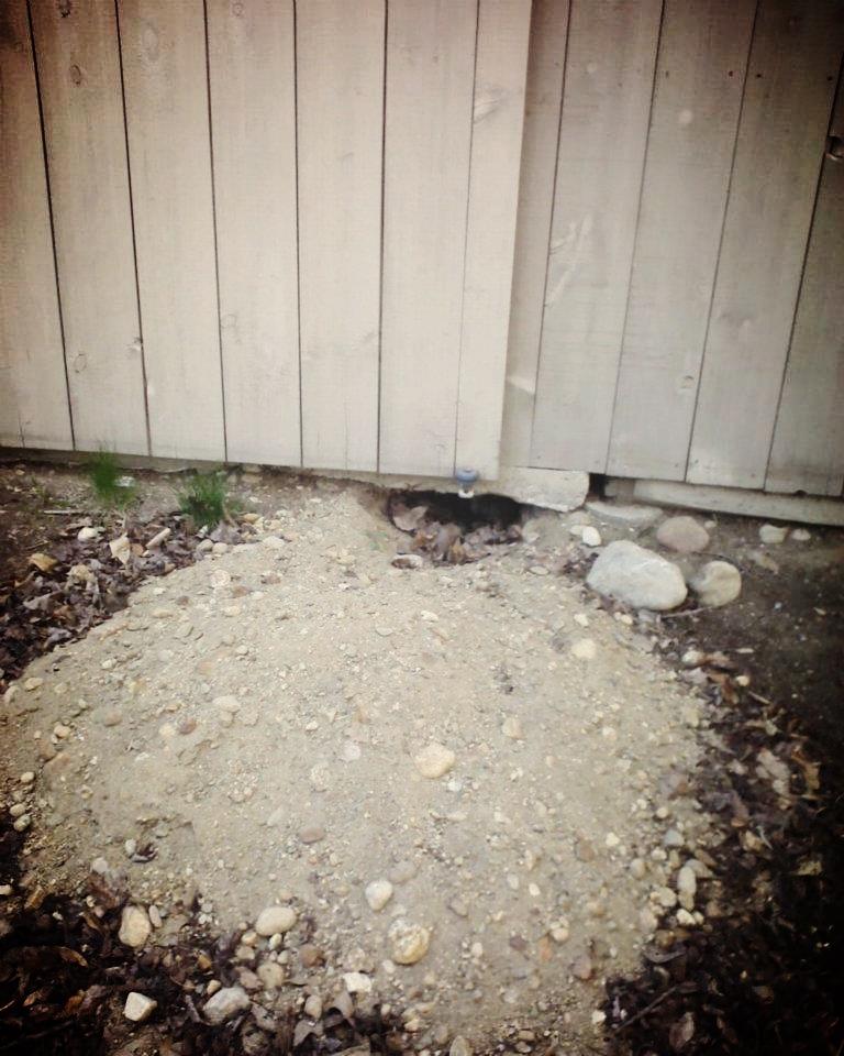 A fox den excavated under the door of a horse barn.