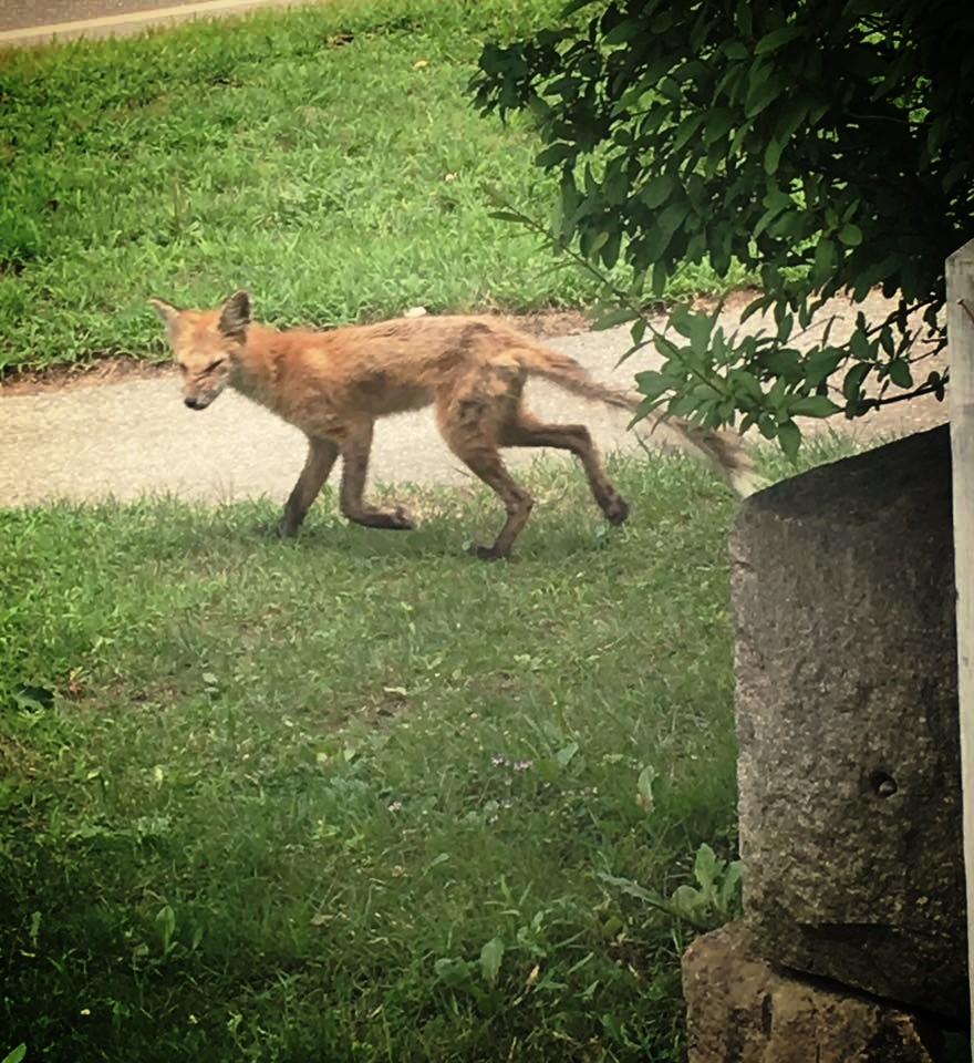 In this photo taken from social media, the ultimate demise of one of the foxes inhabiting my property is documented, with the classic signs of Sarcoptic Mange present.