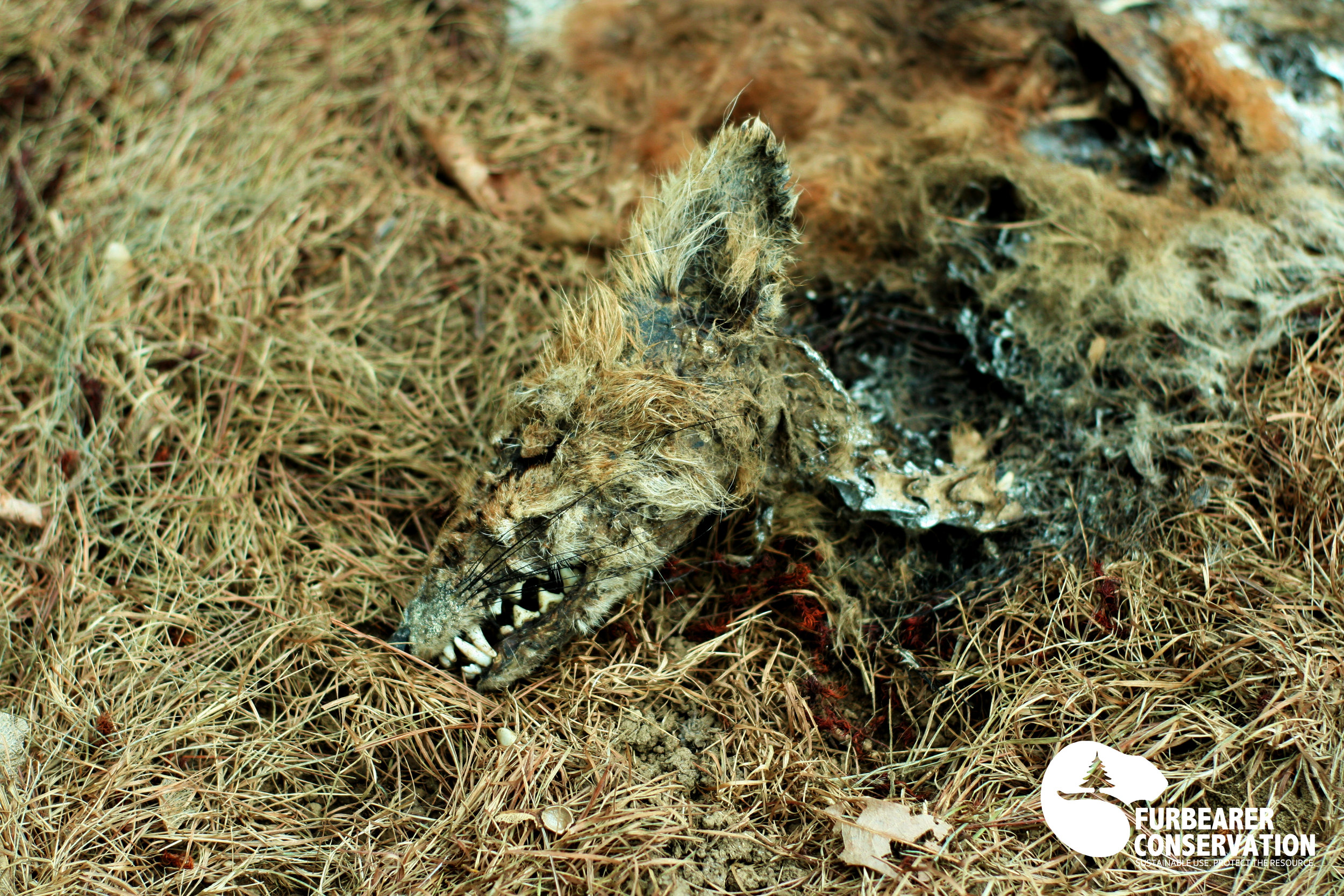 One of two fox kit carcasses believed to have succumed to a disease-related death.