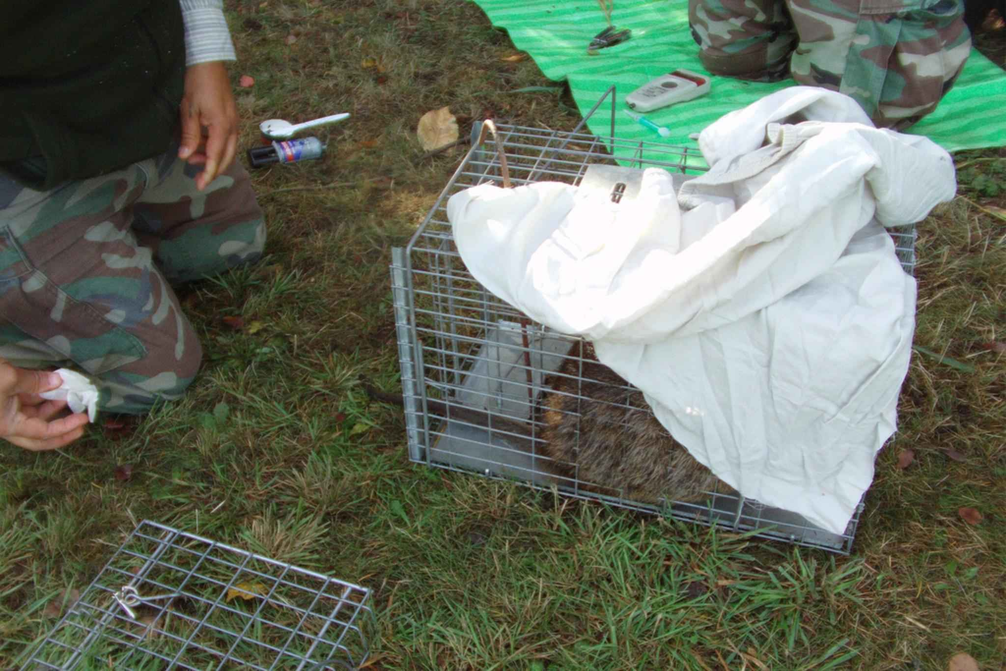 Samples and data are taken from a caged nutria. (Public Domain Image)