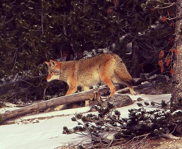 Nature-Wildlife-Coyote-Park-Canine-Wild-Looking-1627535.jpg