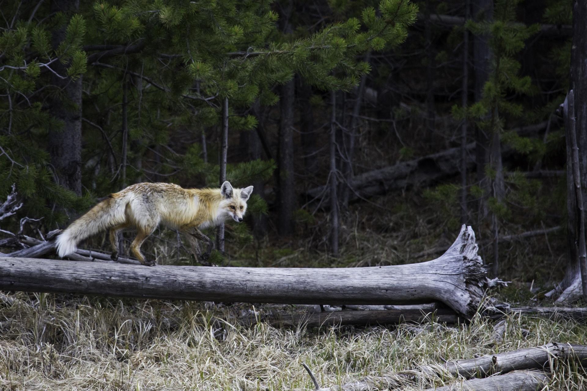 red-fox-1500647451SGZ.jpg