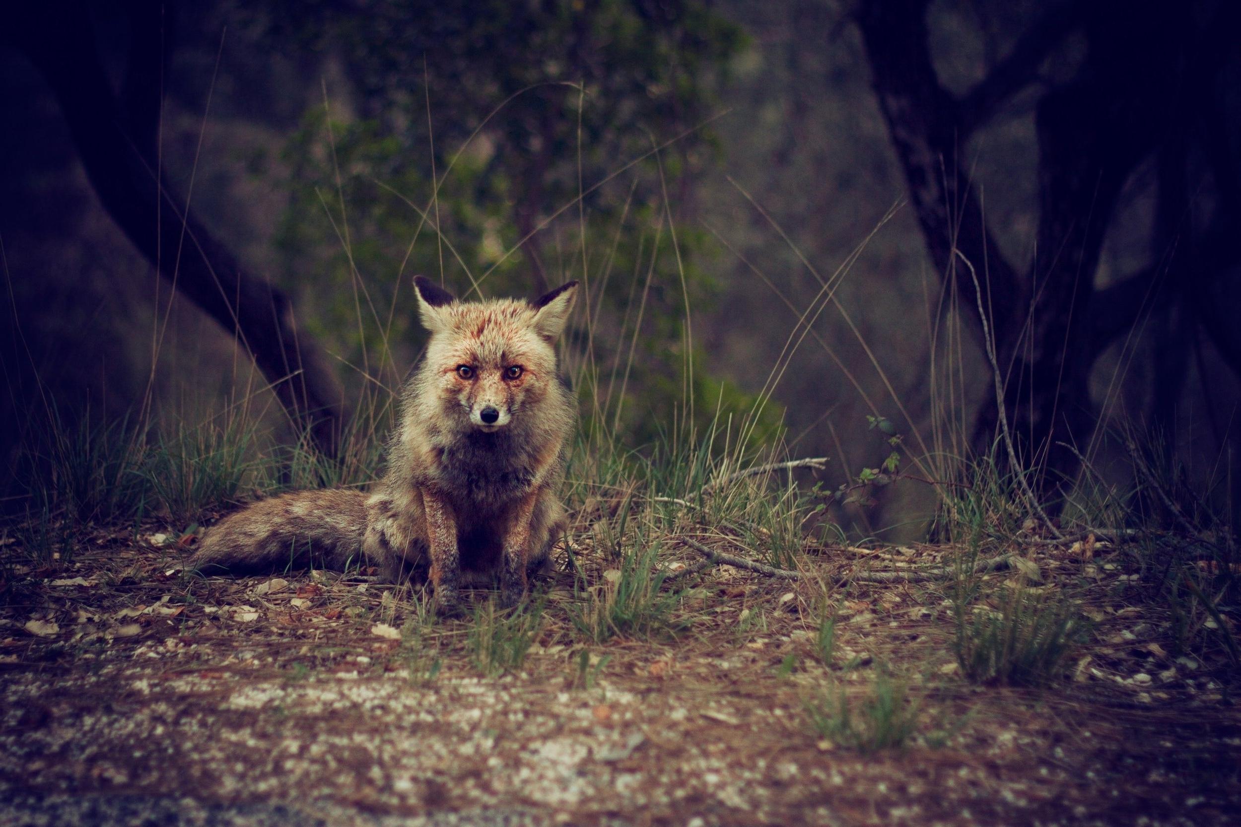 animal-fox-wild-511082.jpg