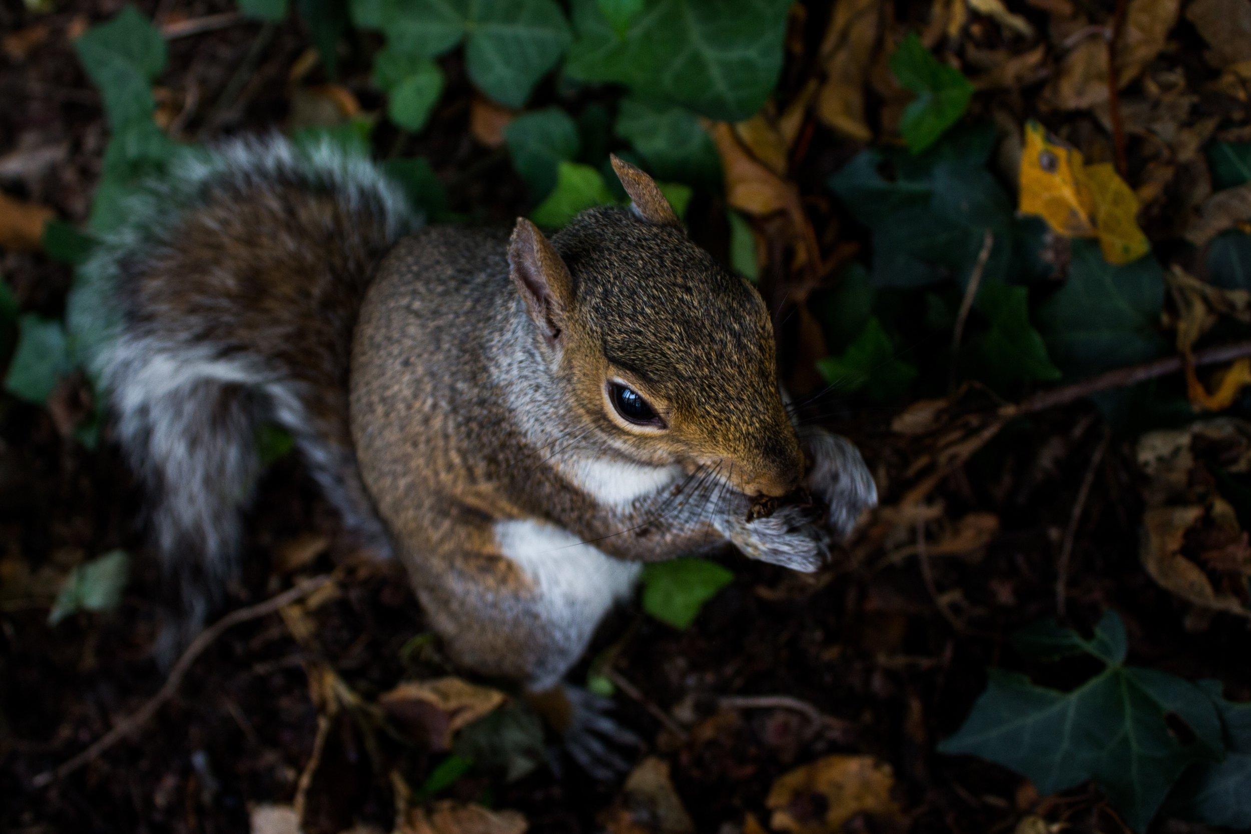 North American grey squirrel