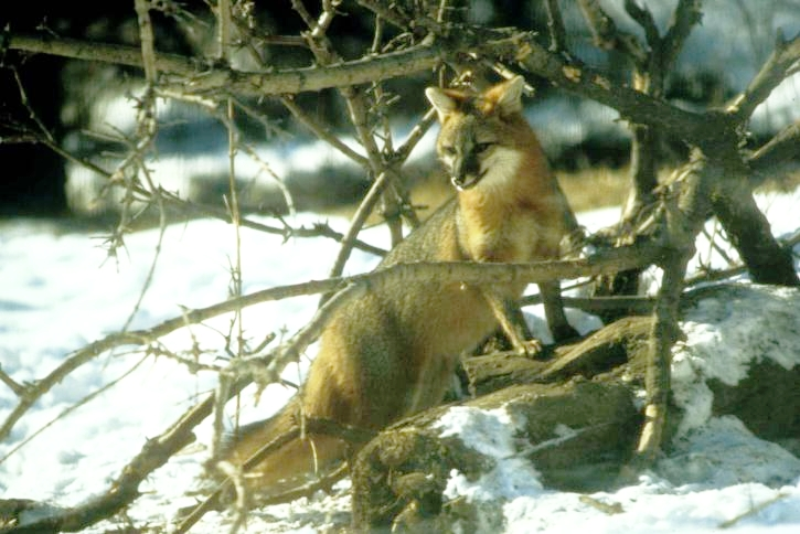 gray-fox-at-snow-winter-time-725x484.jpg