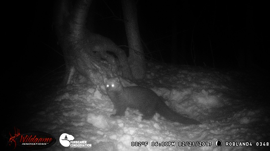 A fisher captured on a hunter's trail camera in New Hampshire (photo | Rob Richardson Jr)