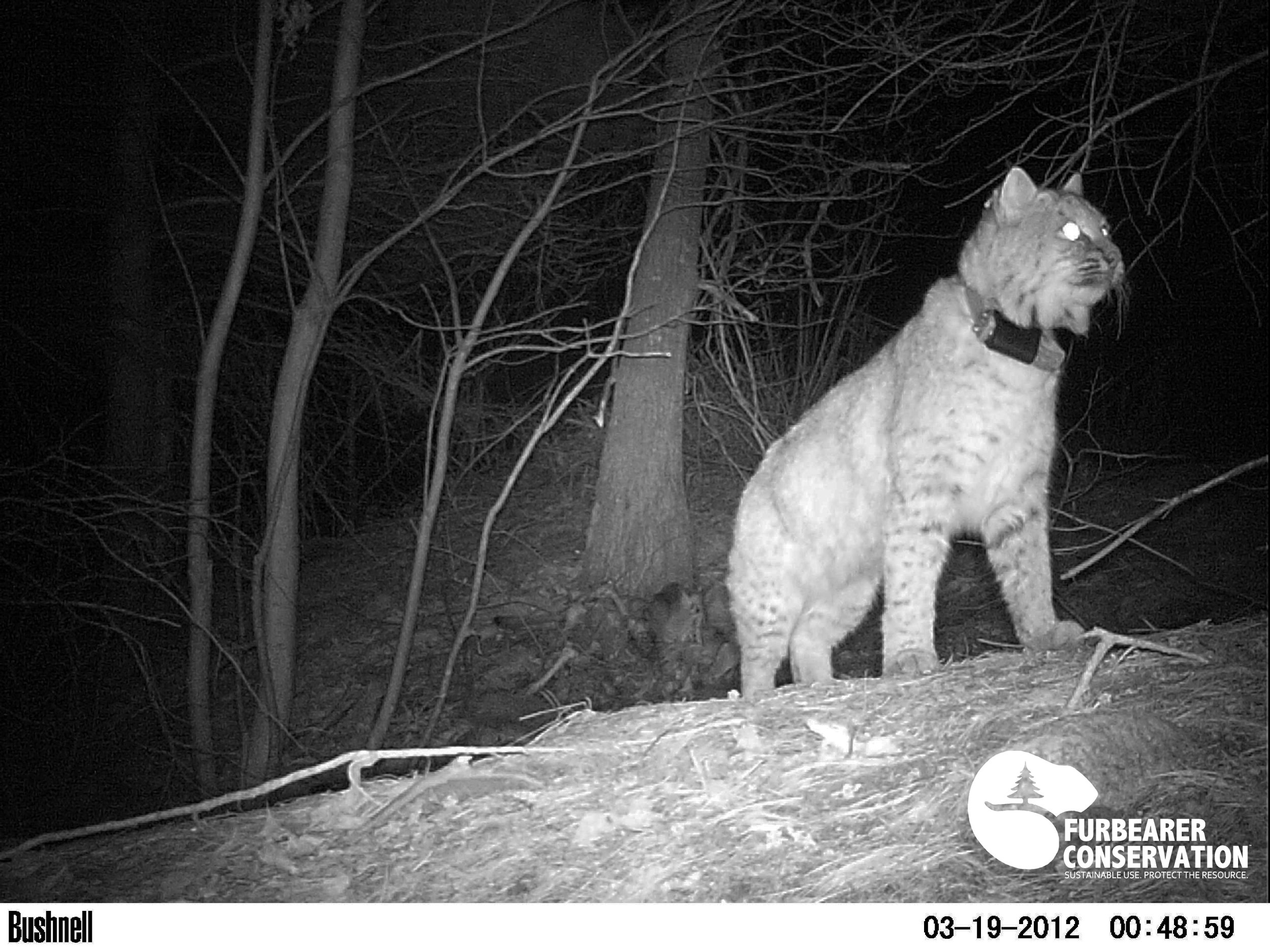 A radio-collared bobcat is captured investigating a deer carcass during the UNH Bobcat study in New Hampshire (Photo | Furbearer Conservation)