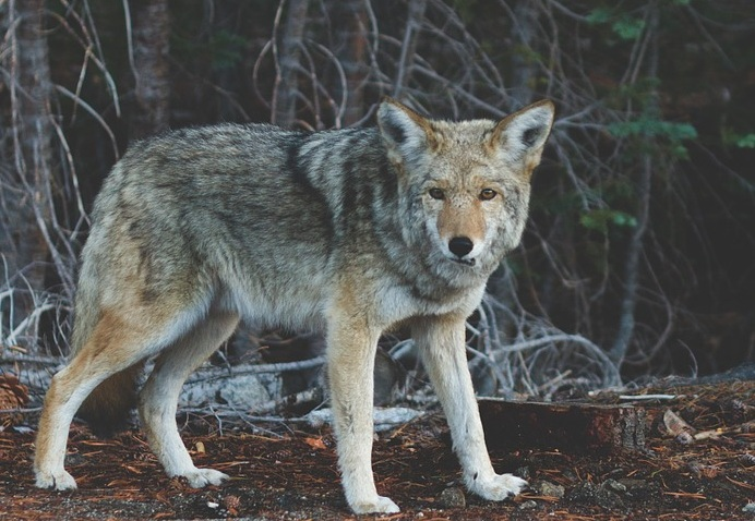 Wildlife-Animal-Creature-Wolf-Mammal-Predator-690102.jpg