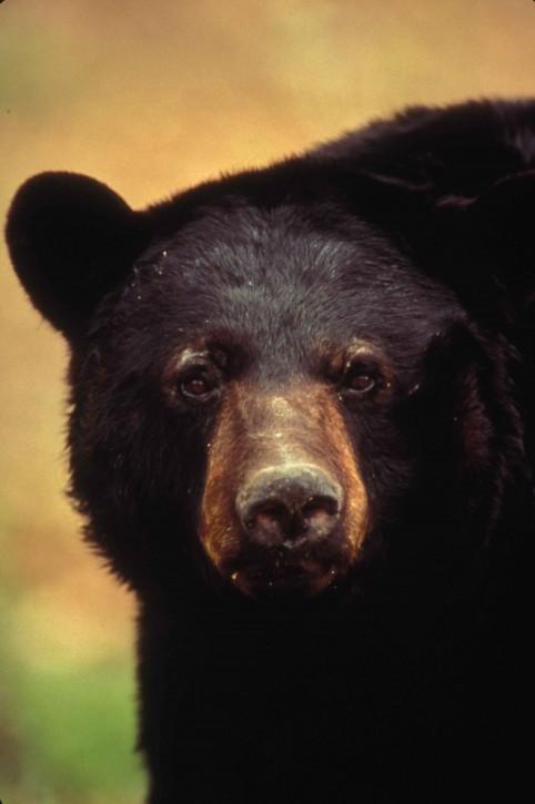 close-up-american-black-bear-face_w482_h725.jpg
