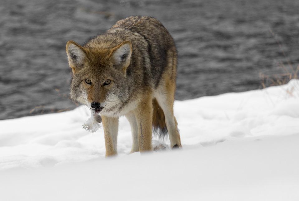 Park-Canine-Predator-Wild-Nature-Wildlife-Coyote-948795.jpg