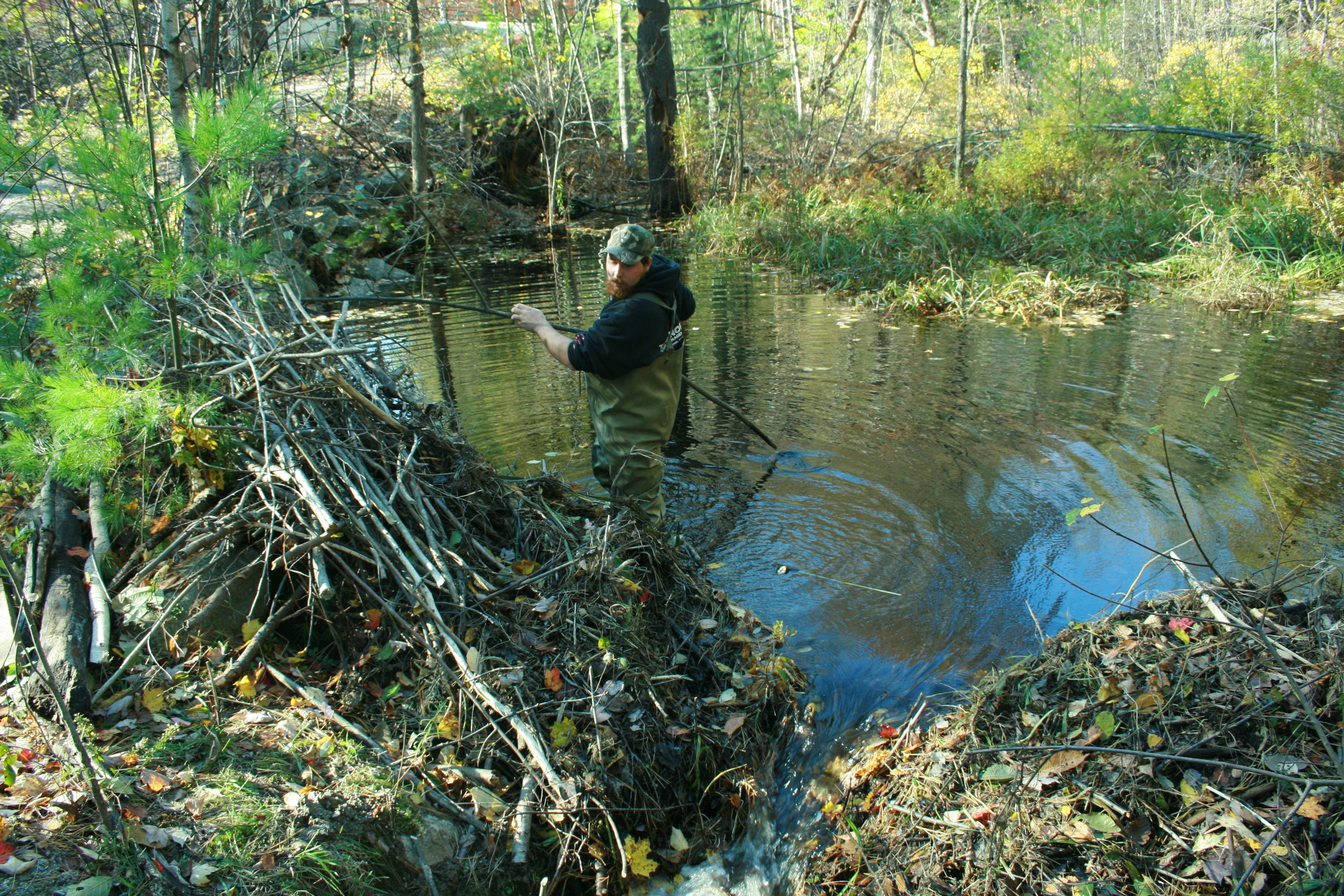 A beaver dam is breached along an access road in New Hampshire. (Photo | Furbearer Conservation)