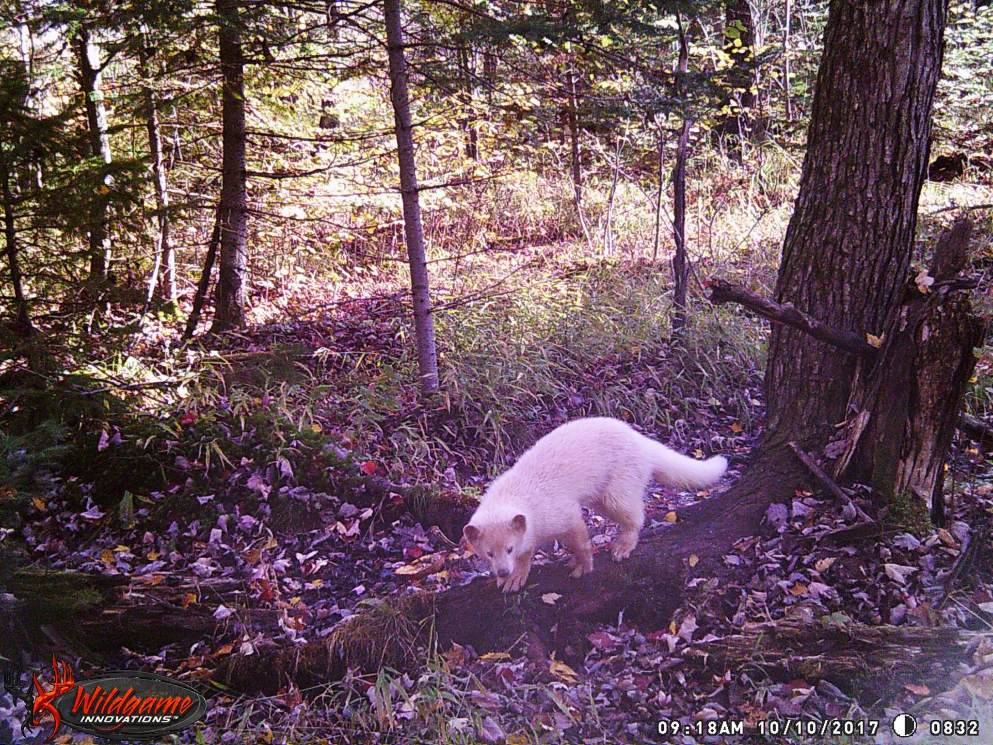 Leucistic fisher captured on 10/10/2017 at 9:18 AM CST within Price County, Wisconsin, U.S.A. (Photo | Lee Ecker)