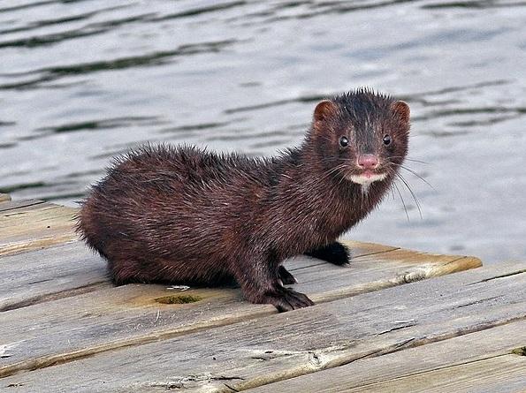 American Mink (Photo |  Jonn Leffmann )