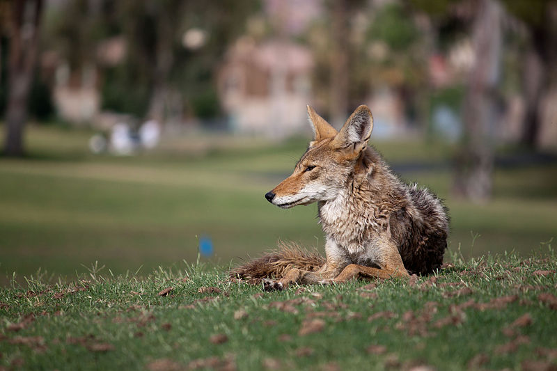 A coyote rests in an urban park in Arizona. (Photo |  Dru Bloomfield  )