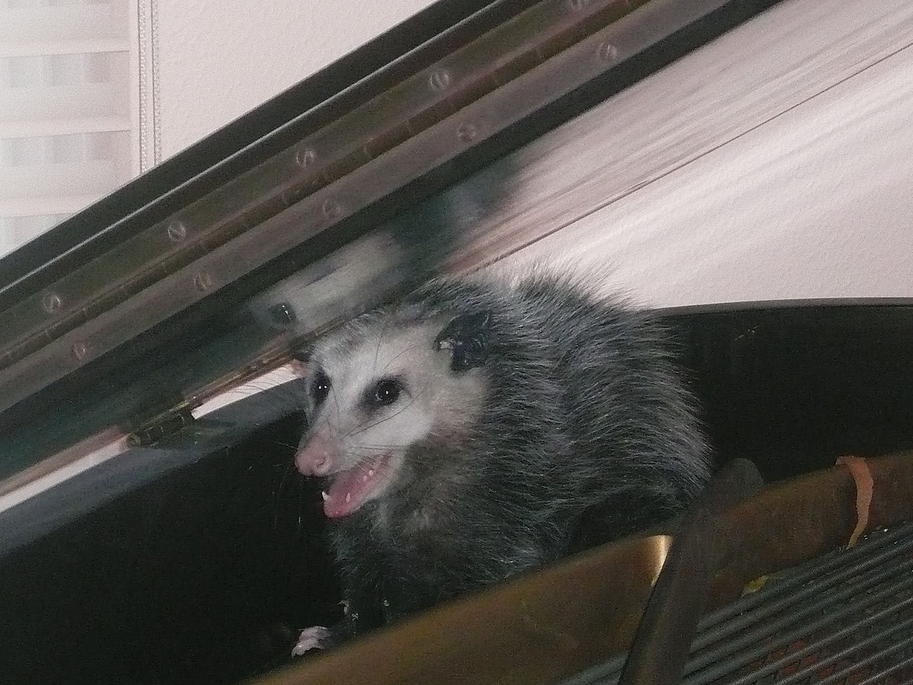 An opossum discovered in a baby grand piano (Photo | Public Domain)