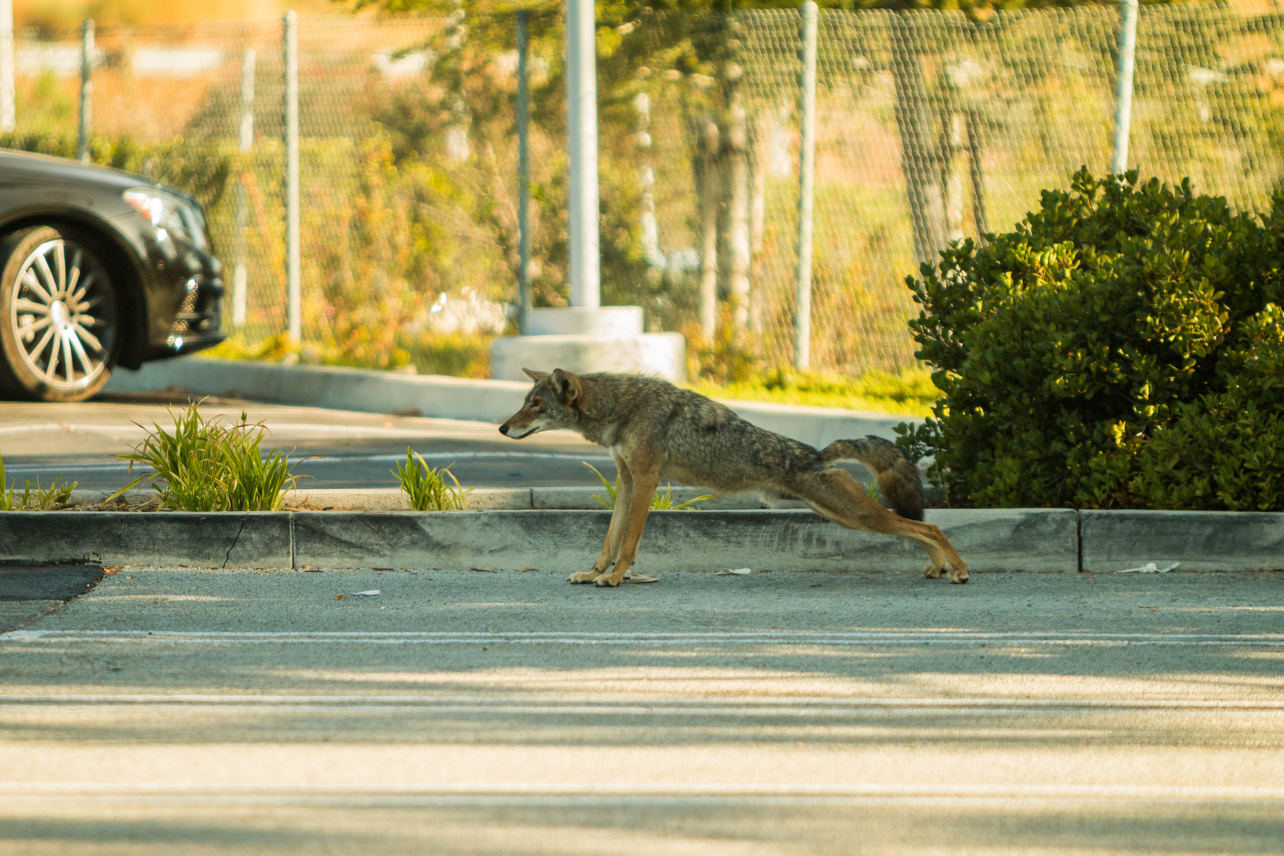 A coyote gives off a daytime stretch in urban California. (Photo | NPS)