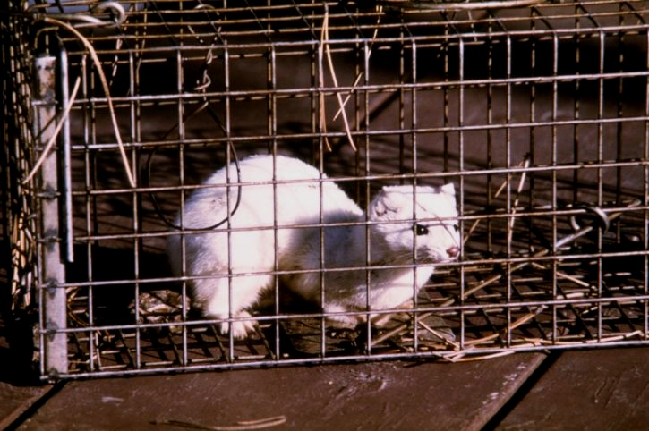 An ermine caught in a cage trap.