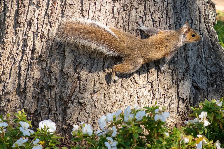 graysquirrel.jpeg