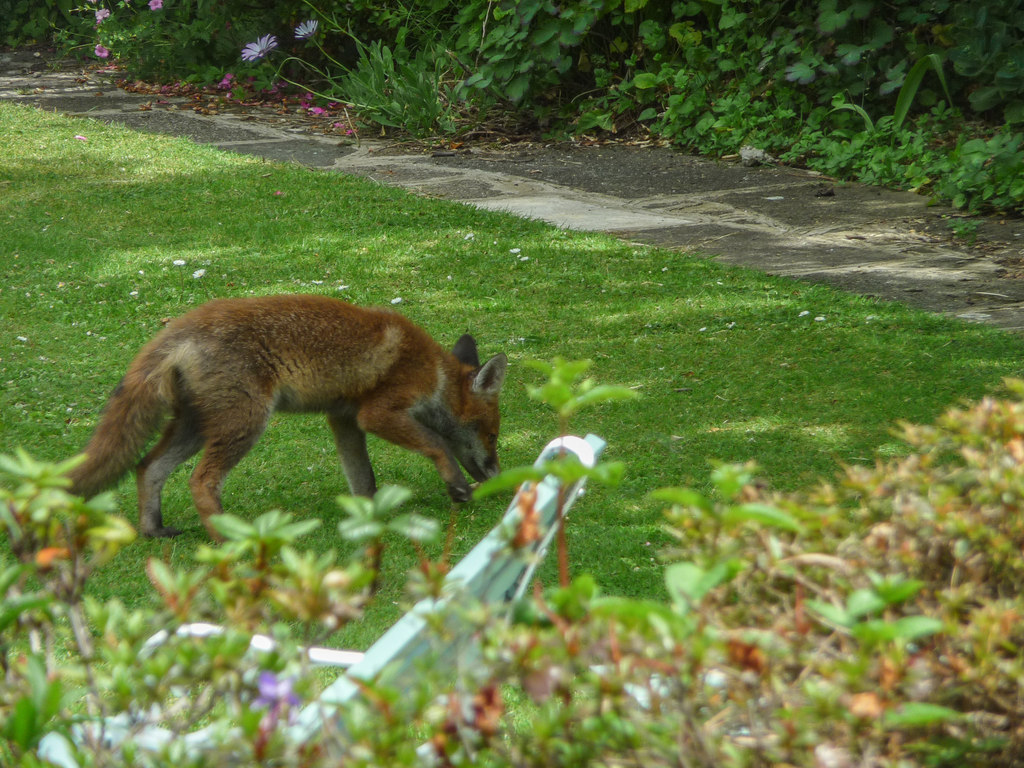 A red fox forages in an urban backyard.