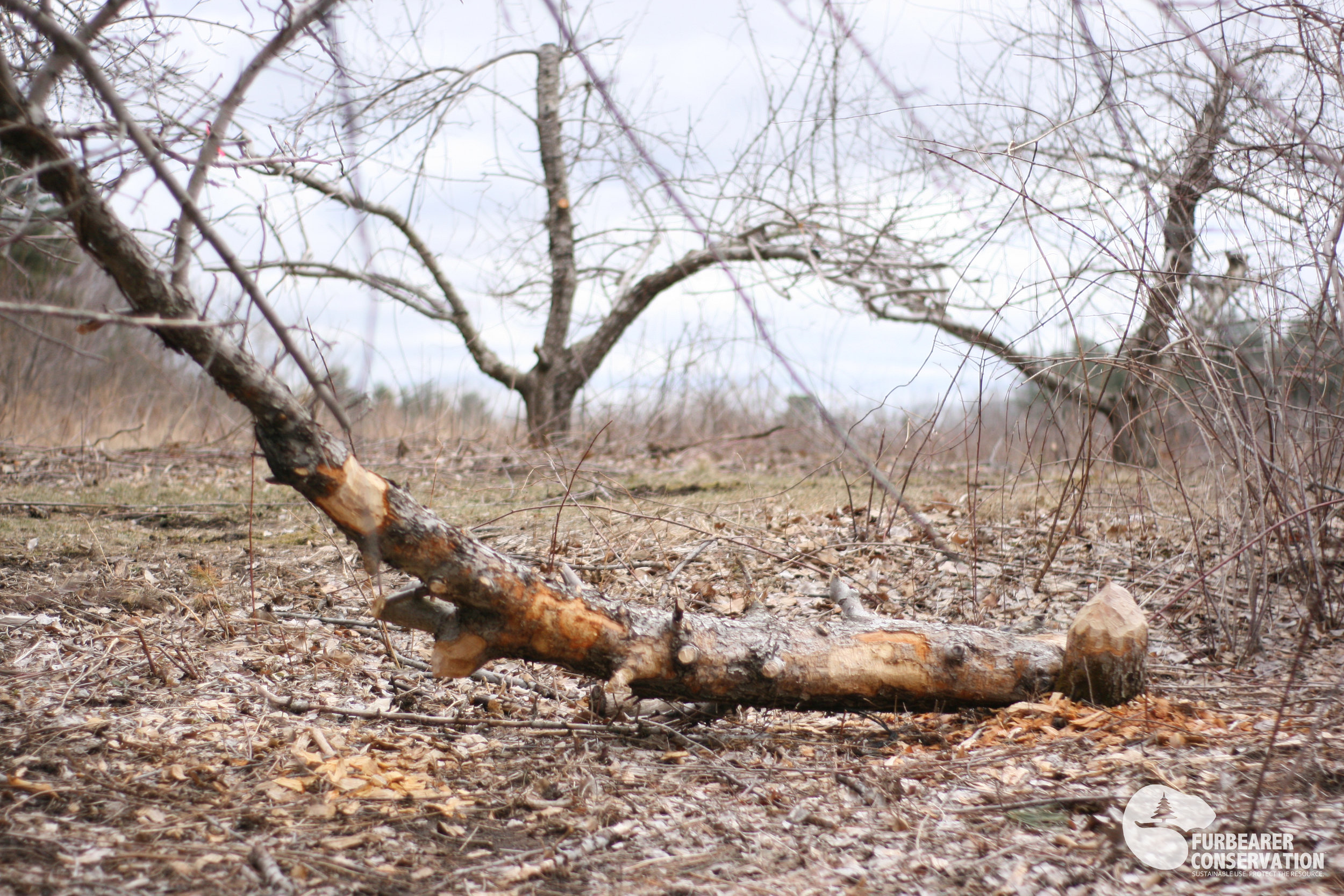 A spring beaver colony inflicts damage on a commercial apple orchard in southern New Hampshire. (Photo | Furbearer Conservation)